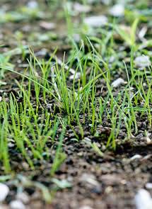 Sembrar c sped t s lo siembra de semillas sin problema - Plantar cesped natural ...
