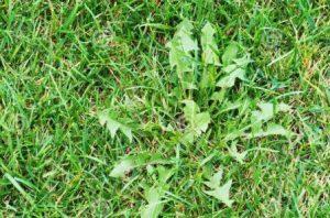 Mala hierba de hoja ancha