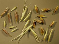 Semilla de Agrostis Stolonifera
