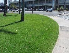Semilla de zoysia japonica